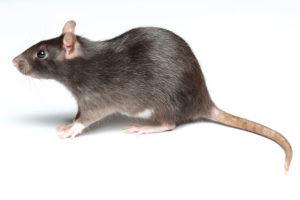 Дератизация, грызуны, уничтожение крыс, Уничтожение грызунов, Травля крыс и грызунов