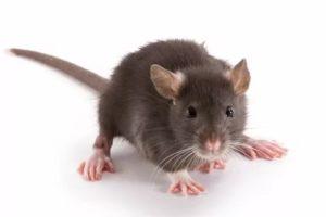 Дератизация, уничтожение мышей, травить мышей, СЭС