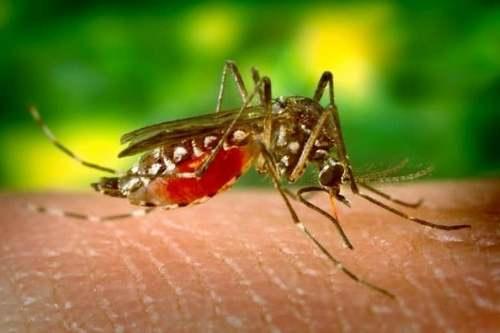 Самка комара, напившаяся крови