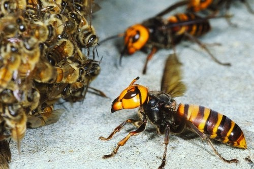 Шершни атакуют пчелиный улей