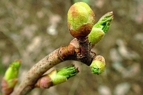 Растение, зараженное почковым клещем