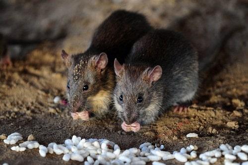 Крысы едят зерно