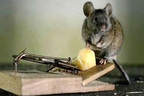Борьба с крысами с помощью капканов