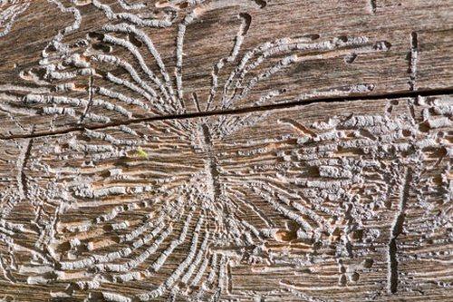 Древесина, пораженная короедом