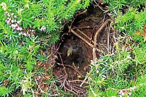 Гнездо земляных ос