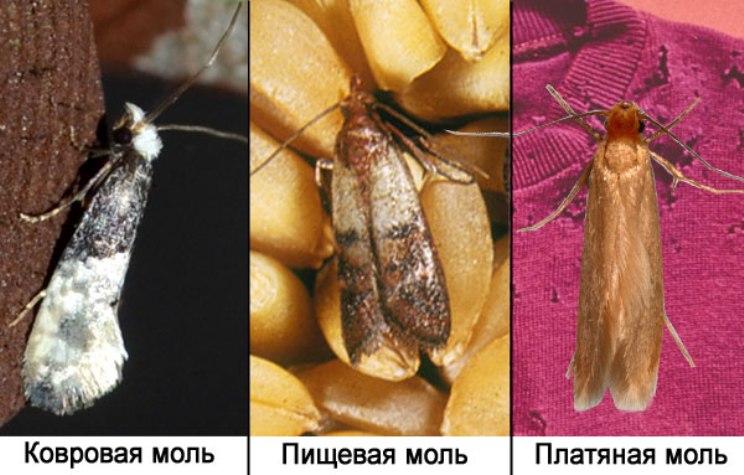 Виды моли: ковровая, пищевая, платяная моль